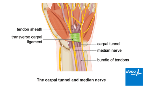 Image showing the carpal tunnel and median nerve