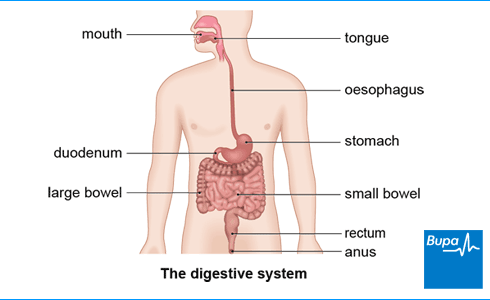 Image showing the digestive system