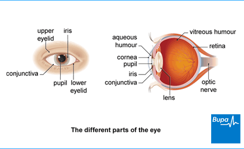 Image showing front and side views of the different parts of the eye