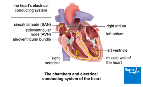 An image showing the chambers and electrical conducting system of the heart
