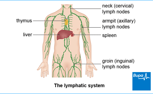 lymph node removal (lymphadenectomy) | health | bupa uk, Human Body