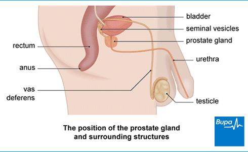 prostate gland problems | health information | bupa uk, Cephalic Vein