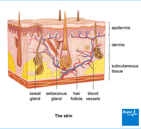 An image showing the skin