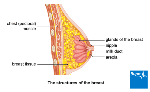 Image showing the structures of the breast