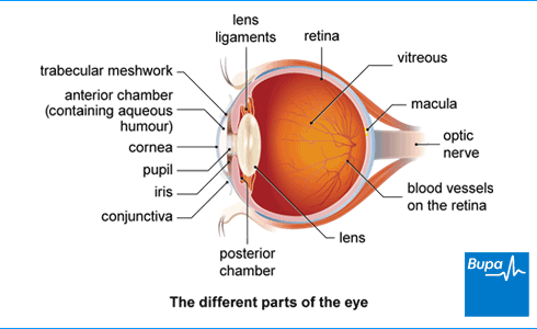 Image showing a side view of the different parts of the eye