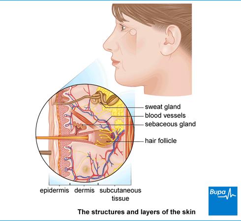 Facial skin layers