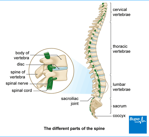 An image showing the different parts of the spine