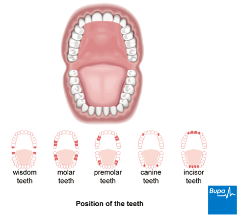 An image showing the position of the teeth