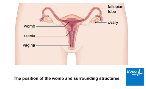 An image showing the location of the womb and surrounding structures